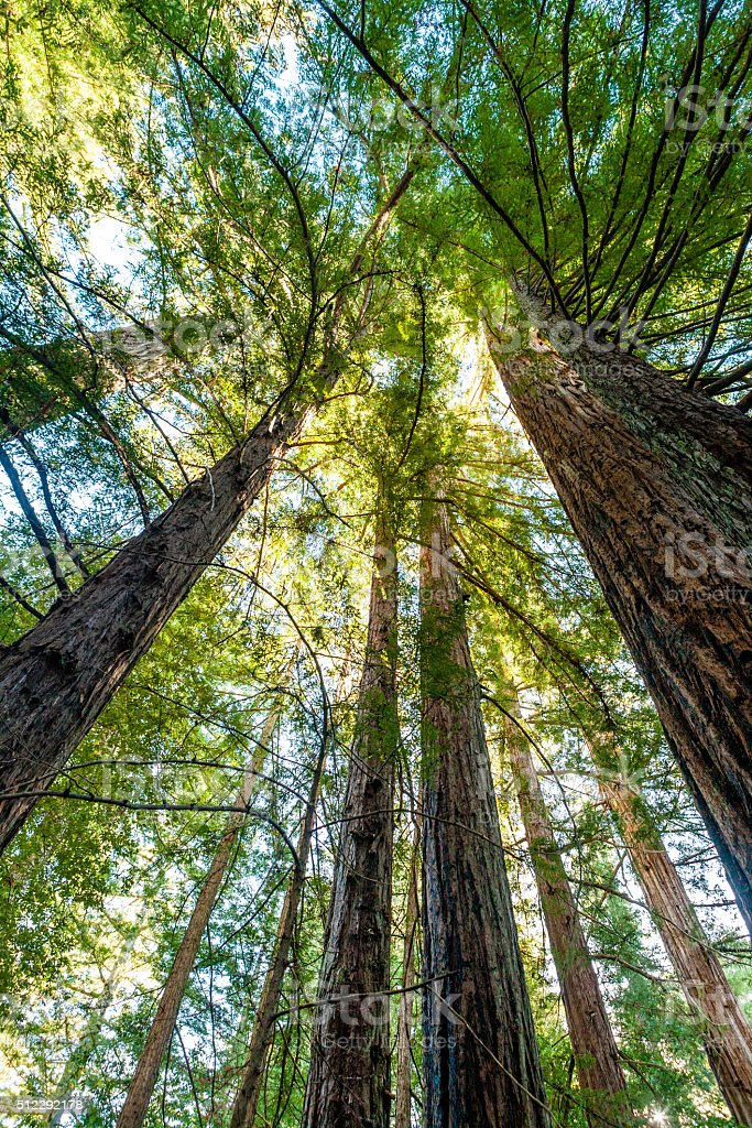 Looking Up Into Redwood Tree Canopy, Big Basin State Park stock photo