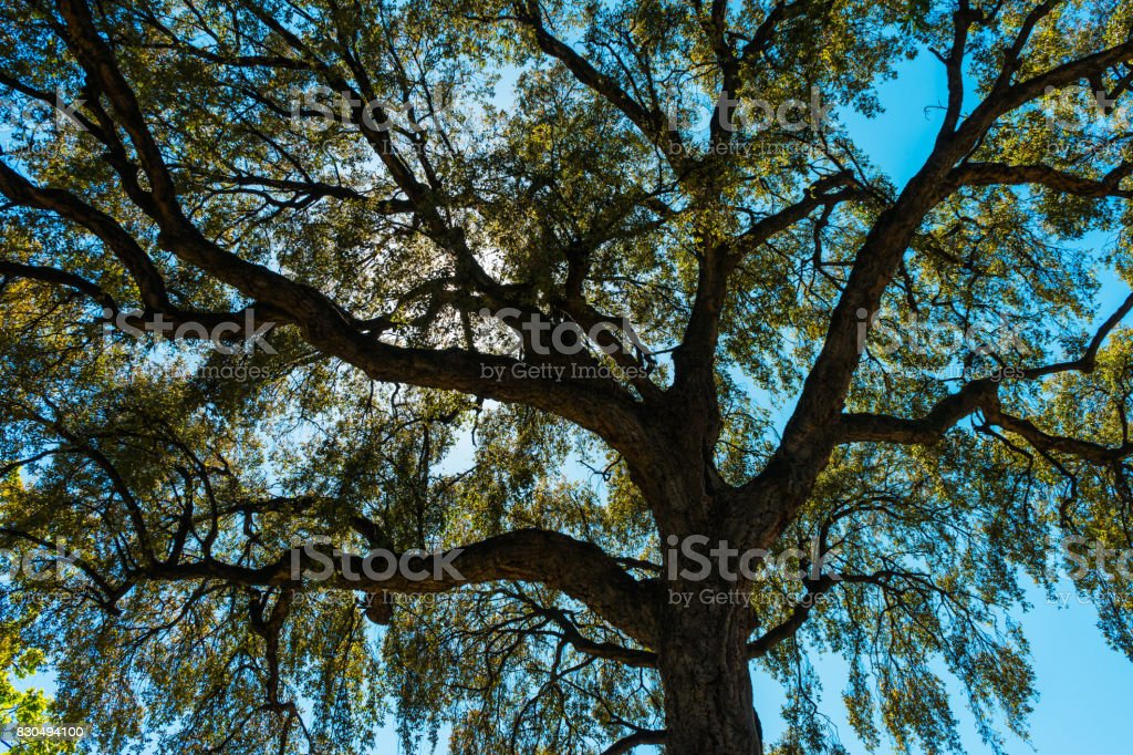Looking up into the canopy of a leafy green tree stock photo