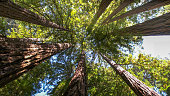 looking up into the canopy of coastal redwood trees at muir woods national monument