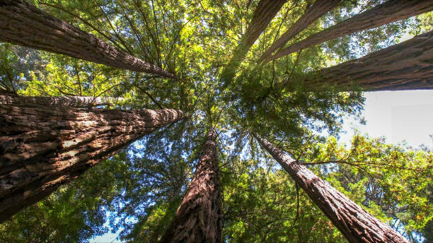 looking up into the canopy of coastal redwood trees at muir woods looking up into the canopy of coastal redwood trees at muir woods national monument redwood tree stock pictures, royalty-free photos & images
