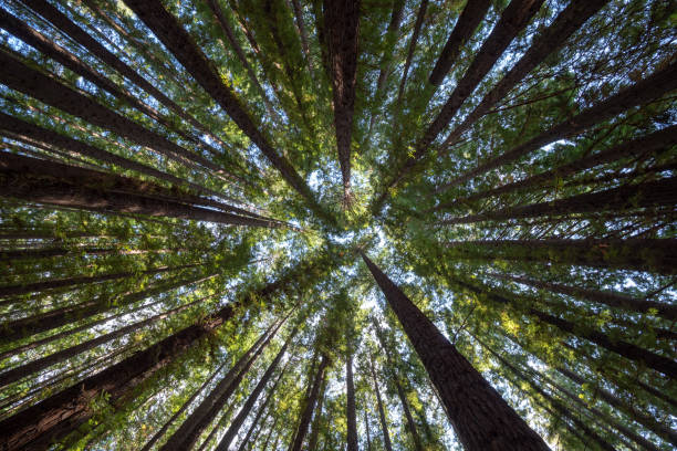 Looking up Into the Redwood Forest Canopy Sequoia trunks that reach the sky directly below stock pictures, royalty-free photos & images