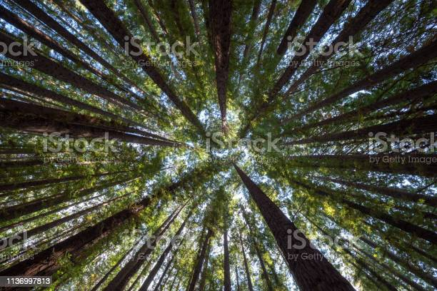 Photo of Looking up Into the Redwood Forest Canopy