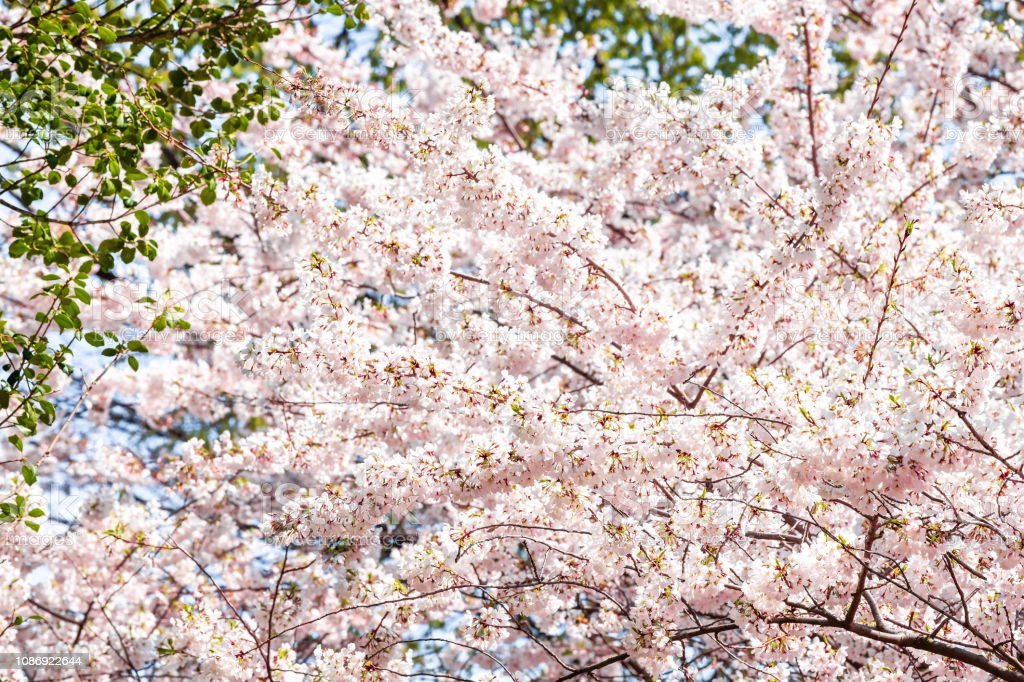 Looking Up Low Angle View On Fluffy Cherry Blossom Sakura Trees