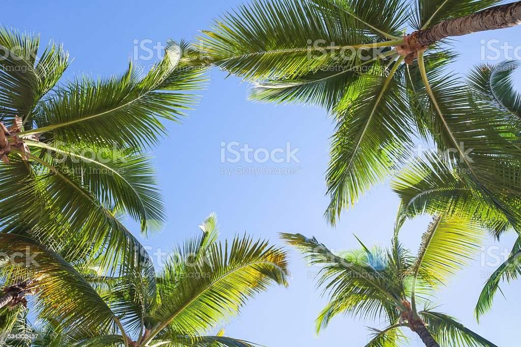 Looking up on coconut palm trees over blue sky background stock photo