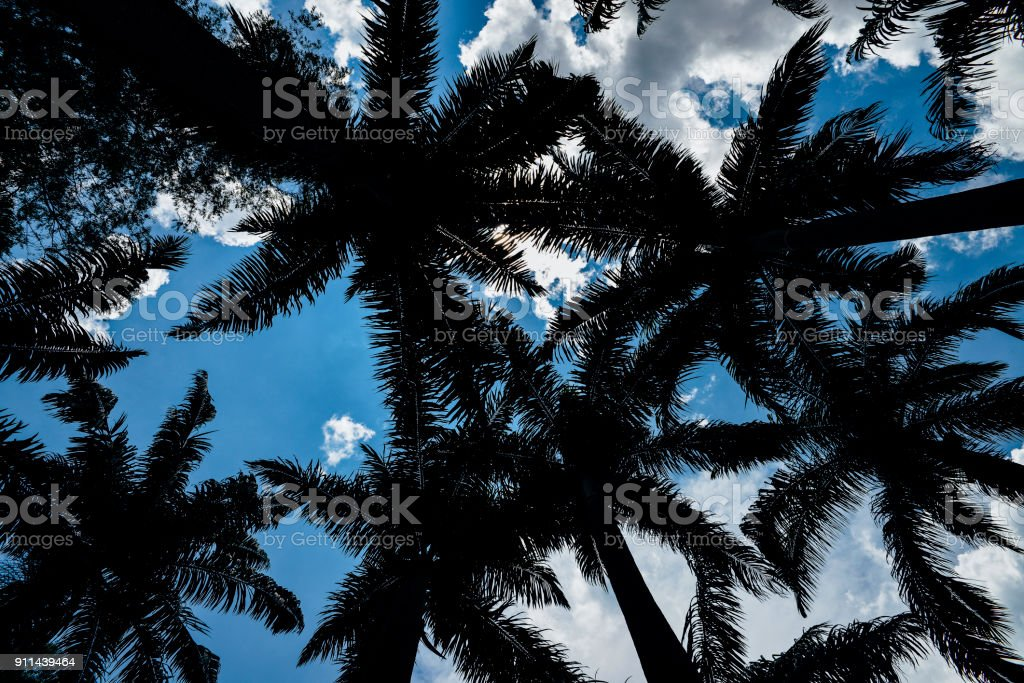 Looking up perspective of palm trees and blue sky stock photo