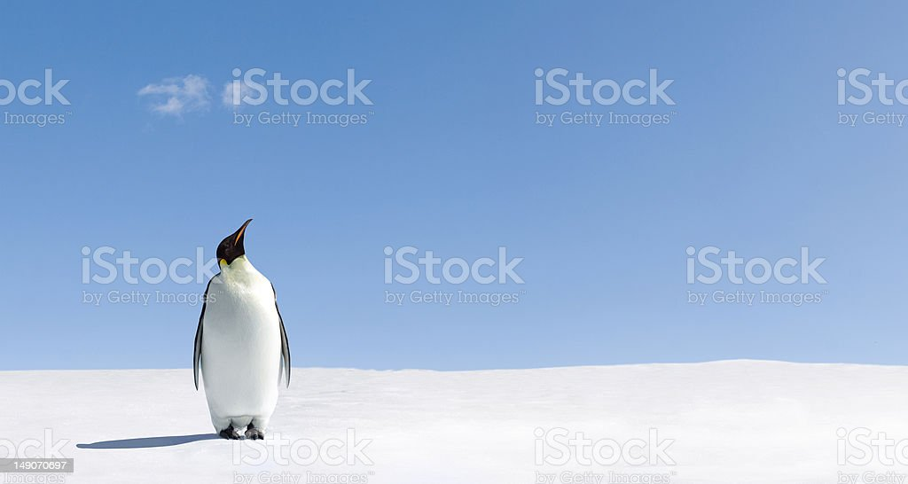 Looking up Penguin standing in Antarctica looking into the blue sky. Animal Stock Photo