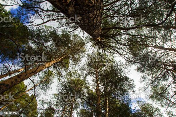 Photo of Looking up the trees in a forest on a blue cloudy sky background.