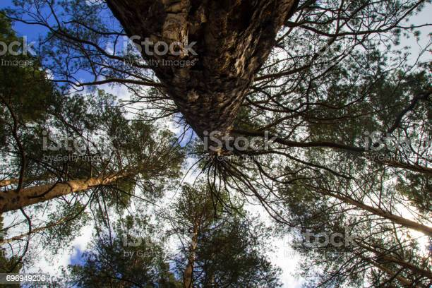 Photo of Looking up the trees in a forest on a blue sky background.