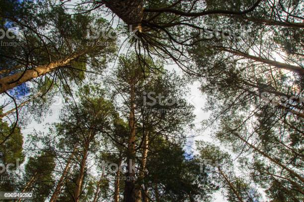 Photo of Looking up the trees in a Siberian forest on a blue sky background.