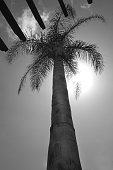 A low view point looking up the trunk of a long palm tree to the palm branches at the top, behind the palms the sun is shining through, the sky is clear with fluffy clouds, black and white photograph