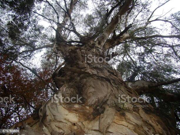Photo of Looking up the trunk of a mighty tree