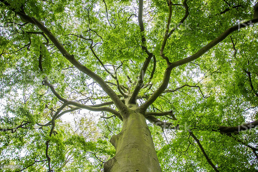 Looking up through a tree. stock photo