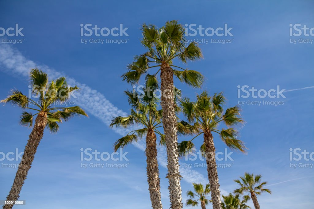 Looking up to Palm Trees and an airplane trail stock photo