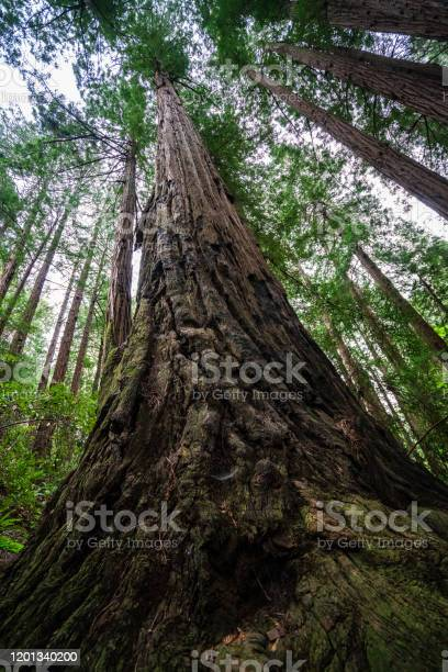 Photo of Looking up to the Mighty Coastal Redwood Trees