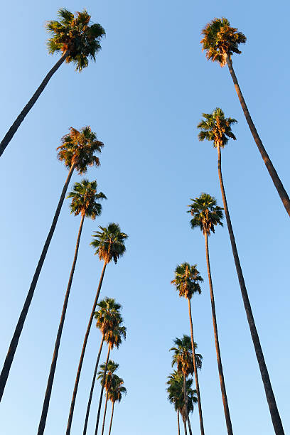 Looking up to the sky and see lines of palm trees stock photo