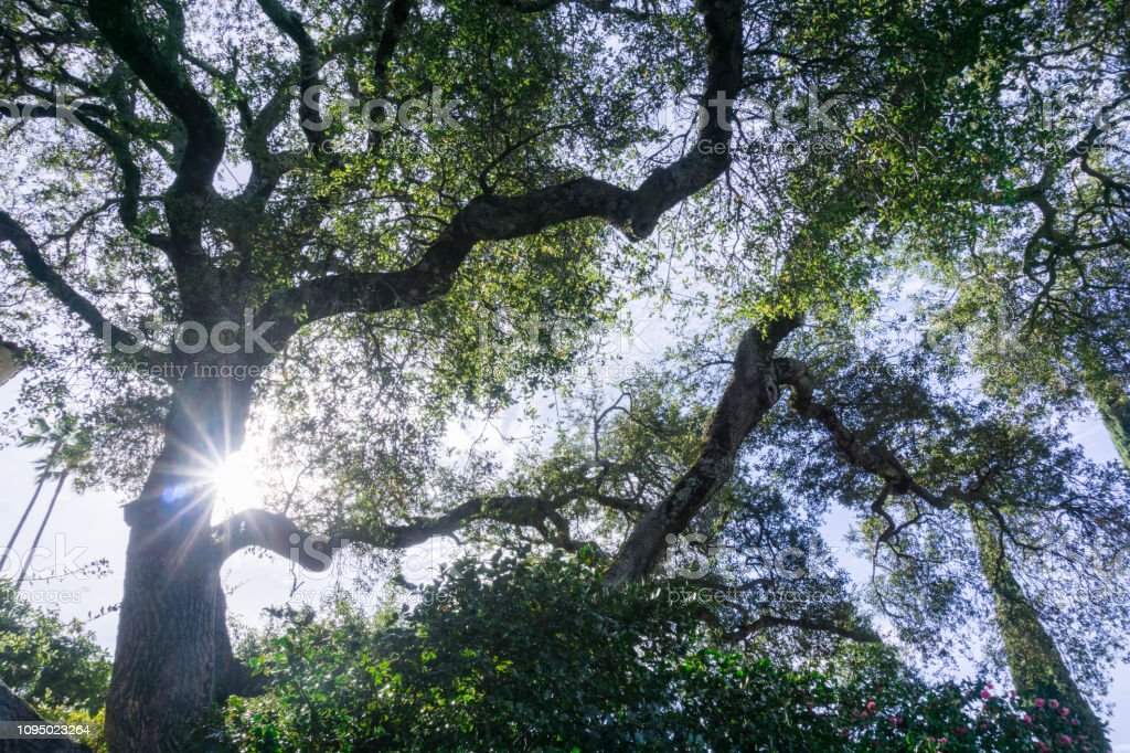 Looking up towards the sky from under a large old coastal live oak...