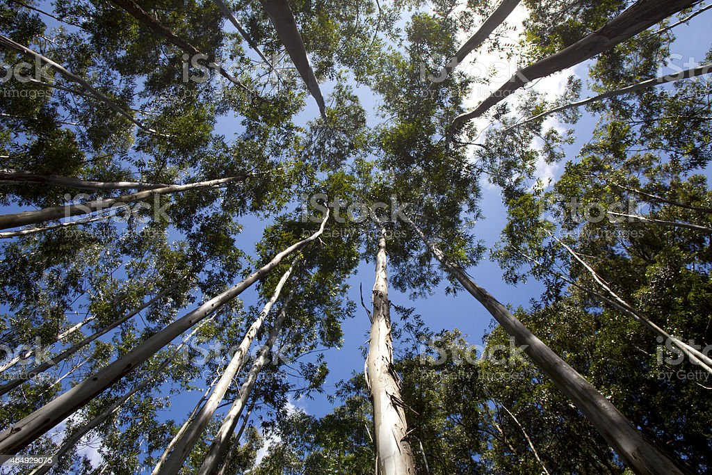 Looking up at the tall trees.