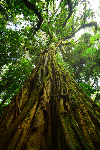 View up tall tree trunk that is home to a myriad types of different epiphytic plants, including moss, ferns, lichens, bromeliads and vines. Photo taken in Costa Rica's Monteverde Cloud Forest. Nikon D750 with Venus Laowa 15mm macro lens.