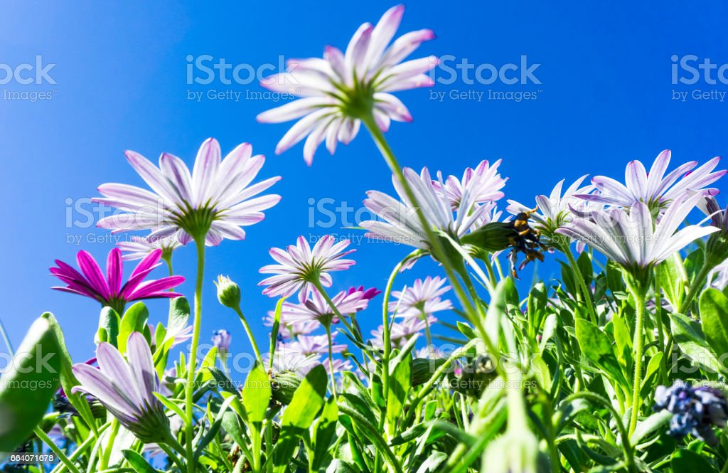 Looking up trough blooming flowers at a blue sky stock photo