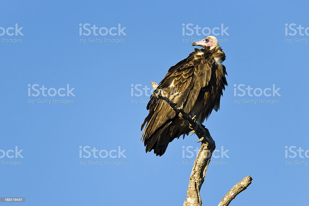Lookout Vulture stock photo