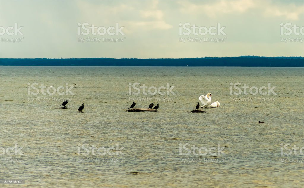 Loons sitting on stone among water  and swimming white swans stock photo