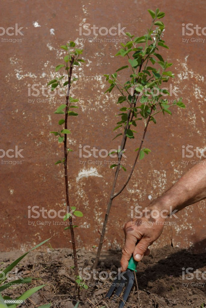 Loosening soil in a garden stock photo