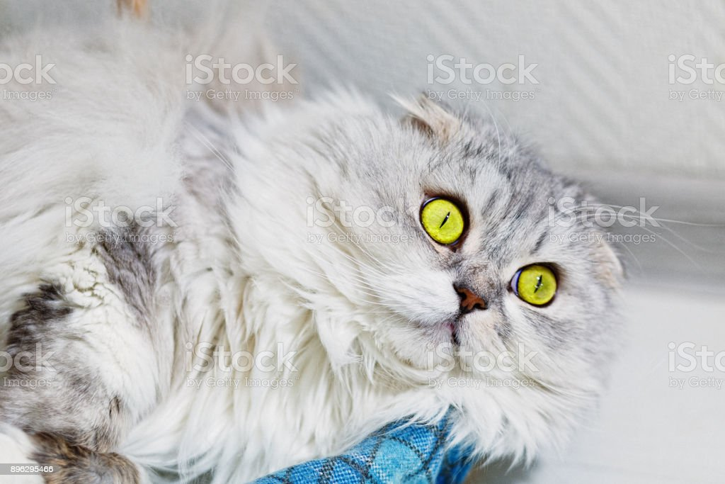 Lop eared gray cat with widely pened green eyes stock photo