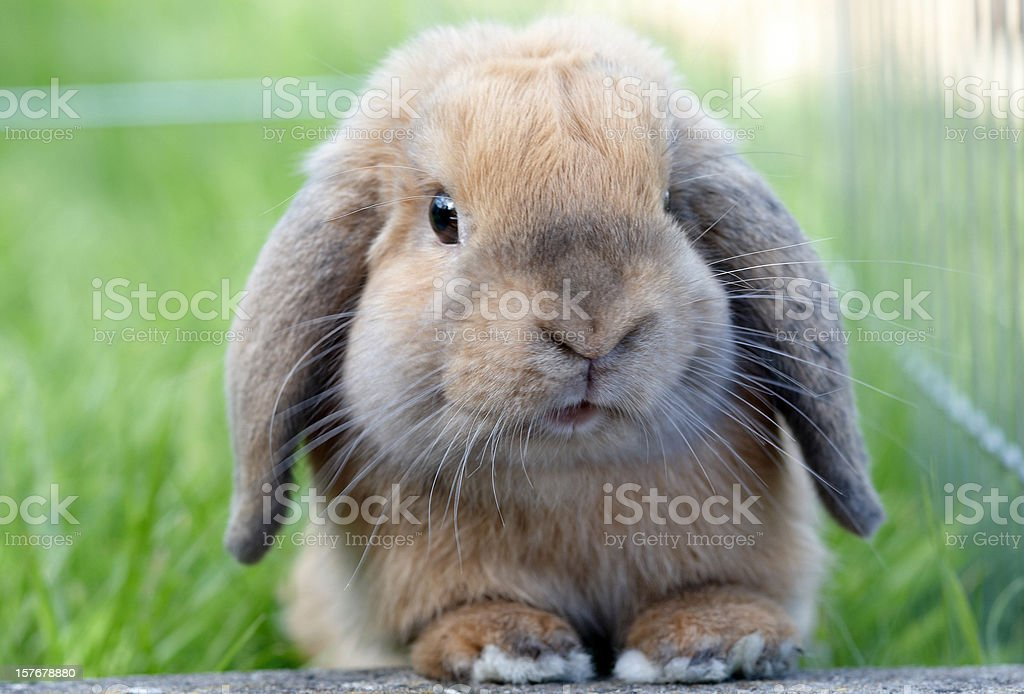 Lop eared rabbit in the grass royalty-free stock photo