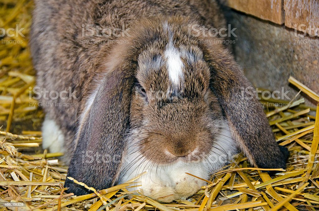 Lop eared rabbit stock photo