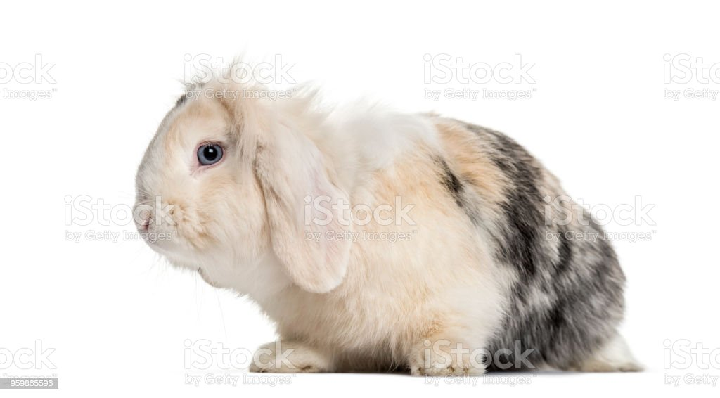 Lop Rabbit , 1 year old, sitting against white background stock photo