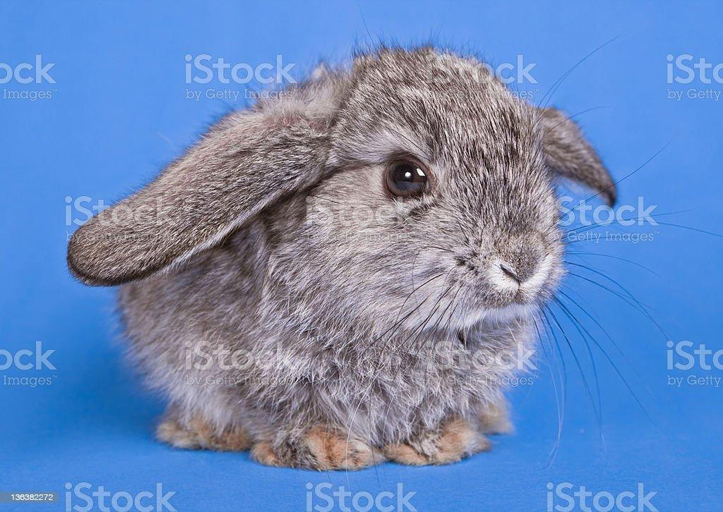 Lop Rabbit. royalty-free stock photo