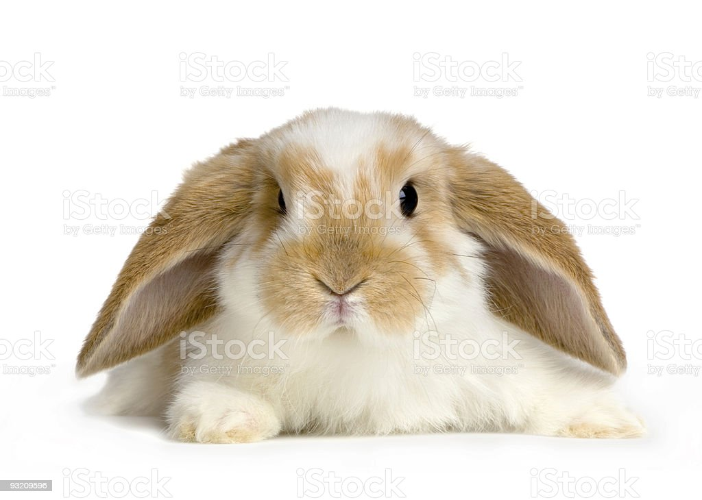 Lop Rabbit royalty-free stock photo
