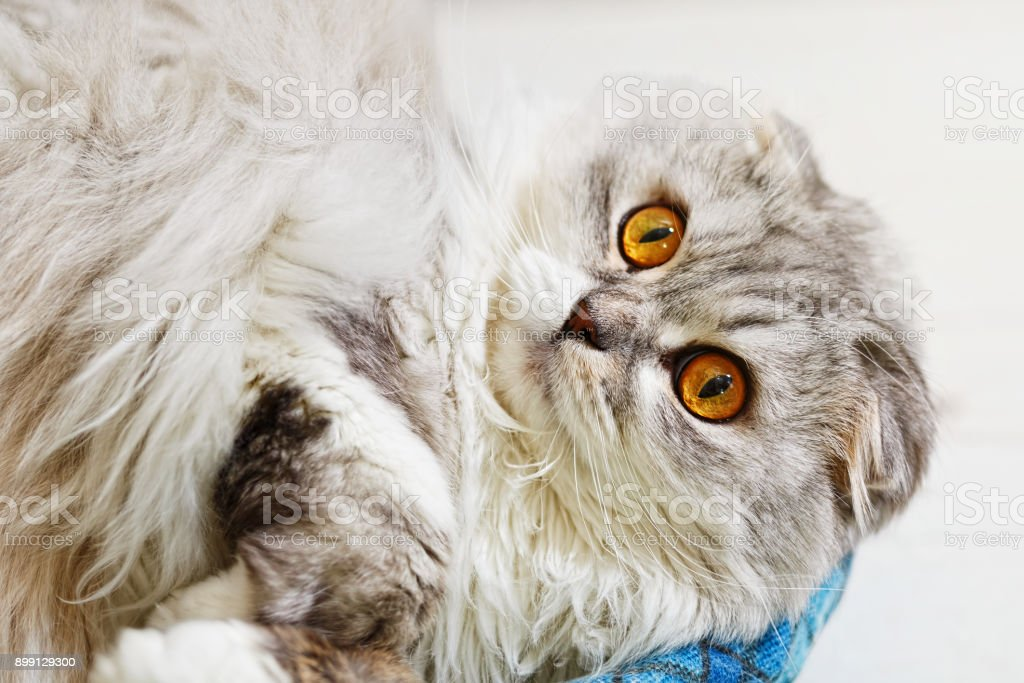 Lop-eared pedigree cat with widely opened eyes stock photo