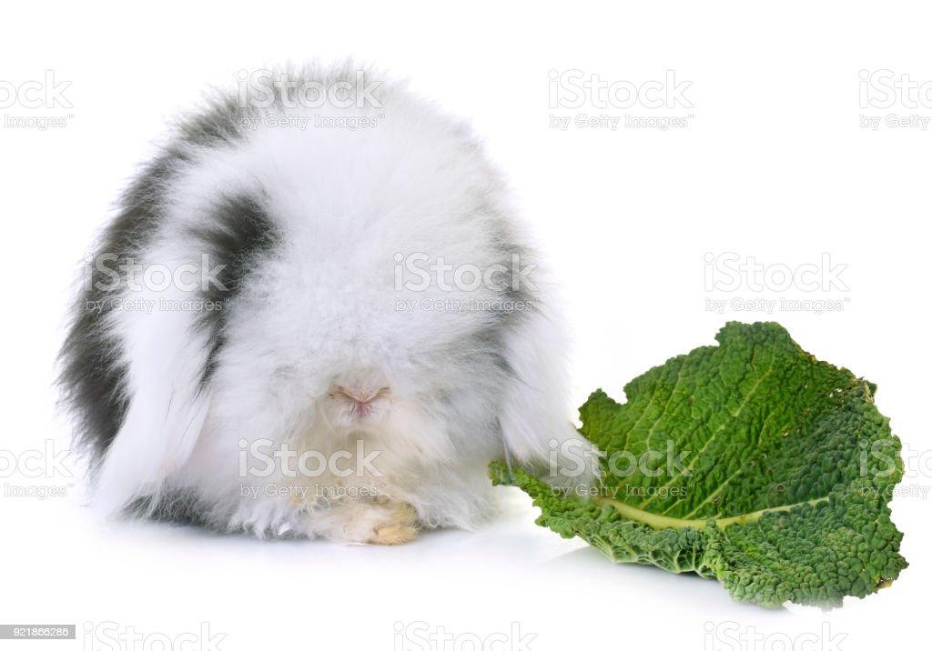 lop-eared  rabbit stock photo