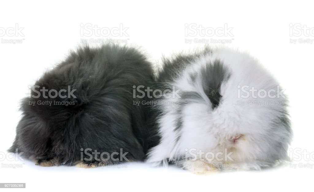 lop-eared  rabbits stock photo
