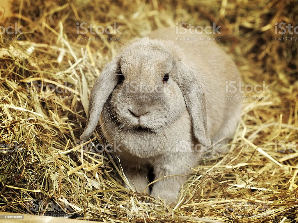 Lop-earred Rabbit stock photo