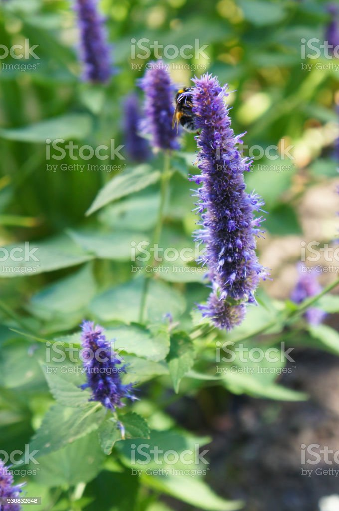 Lophanthus anisatus benth or fennel gianthisson purple flowers with green stock photo