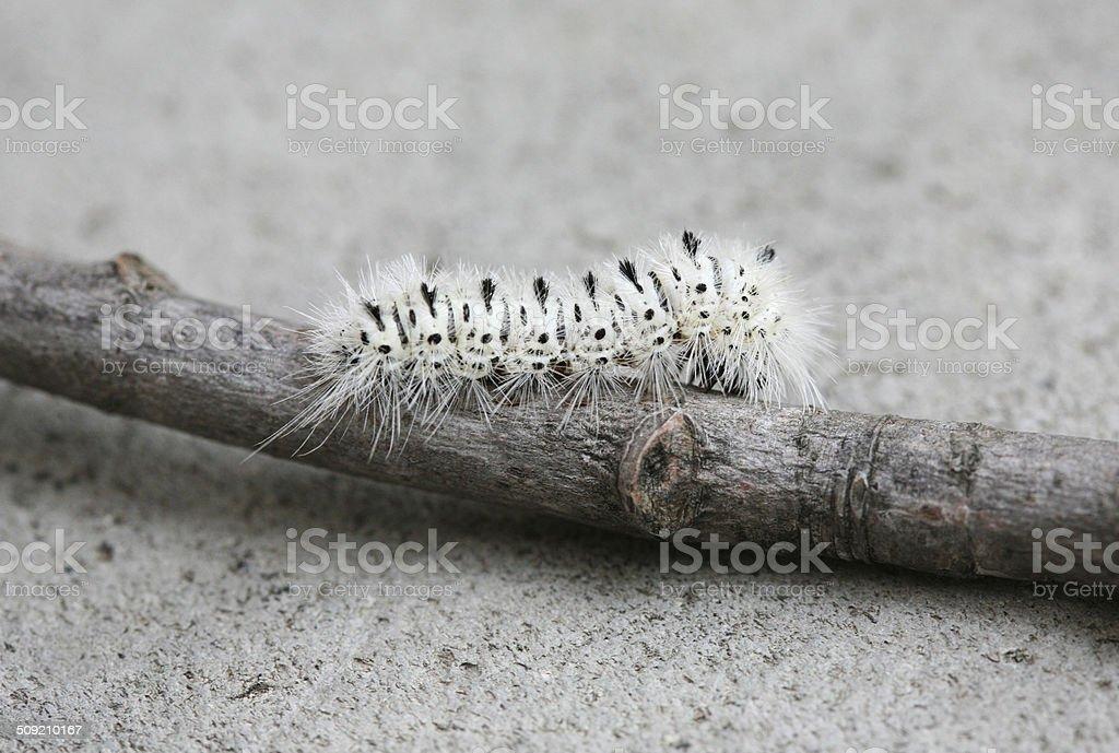 Lophocampa Caryae stock photo