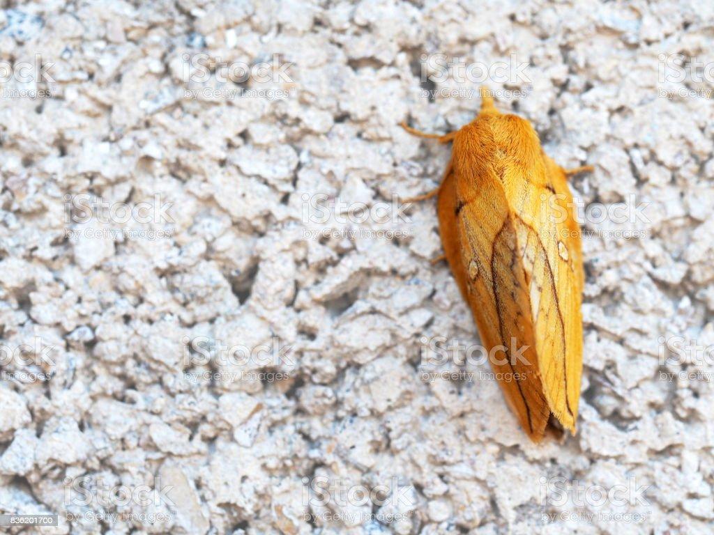 Lophocampa maculata stock photo