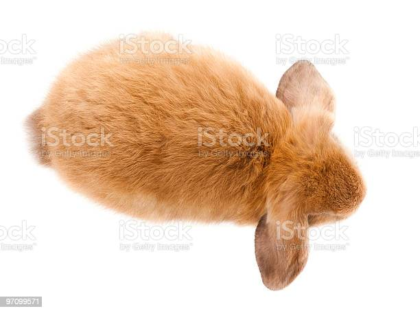 Loprabbit miniature lop picture id97099571?b=1&k=6&m=97099571&s=612x612&h=zcoyigygyff8pkrrkpzy xjzmvzc cahct5di5n9vmu=