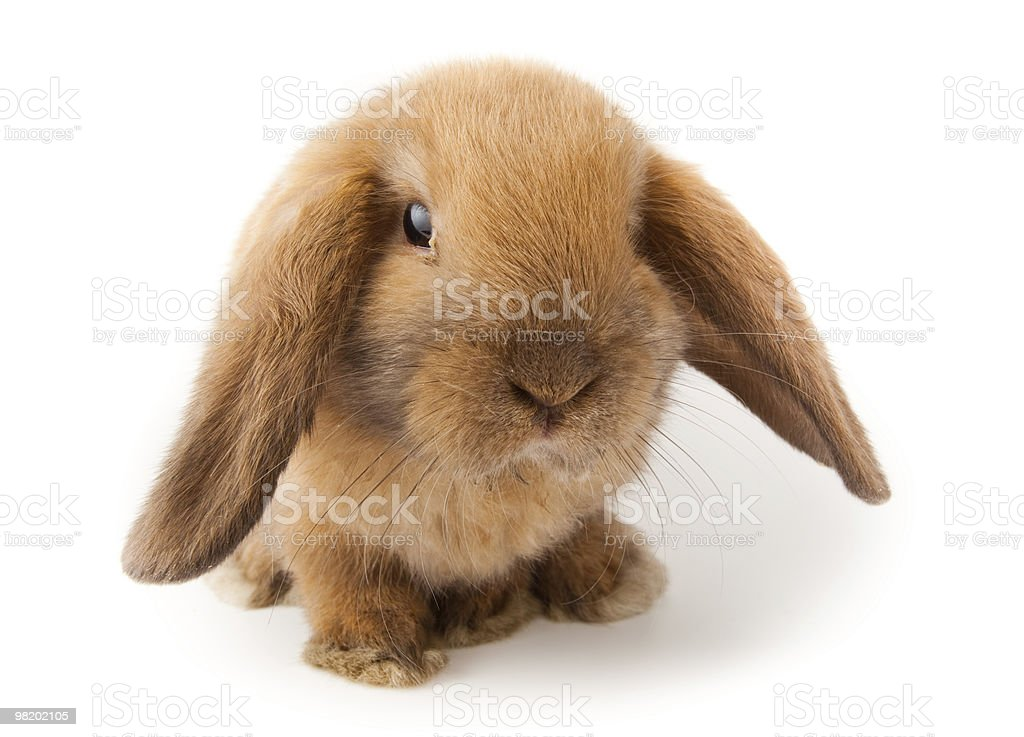Lop-rabbit, Miniature Lop (Oryctolagus cuniculus) royalty-free stock photo