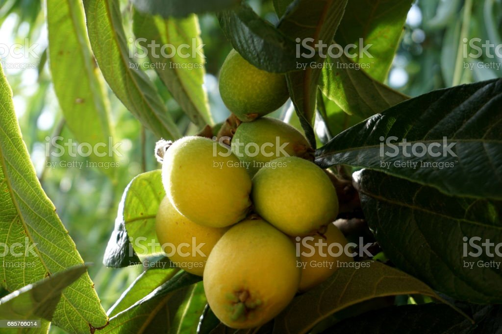 Loquat -Eriobotrya japonica royalty-free stock photo