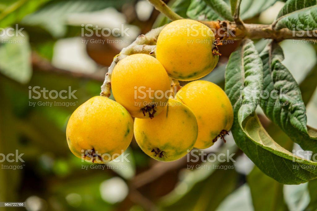 loquat fruits on tree branches and green leaves in nature royalty-free stock photo