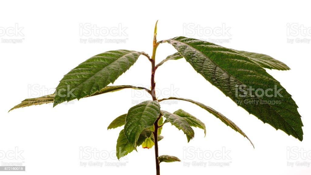 Loquat Medlar Tree isolated on a white background stock photo