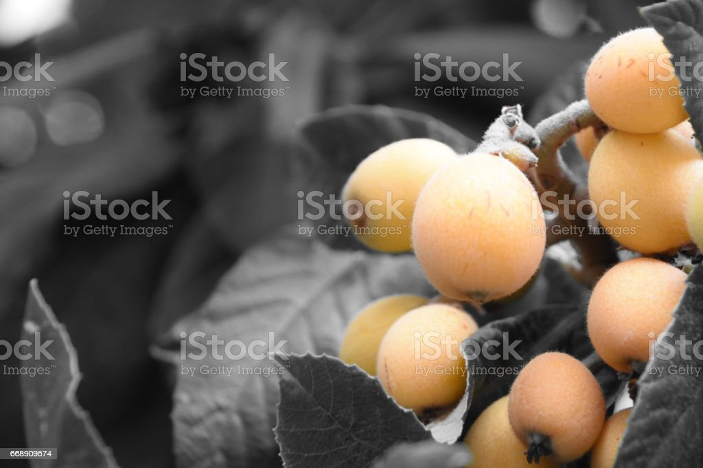 Loquat tree stock photo