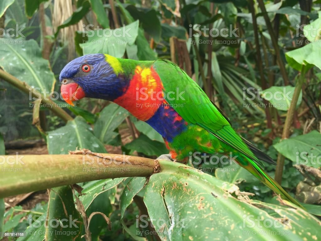 Lorikeet parrot stock photo