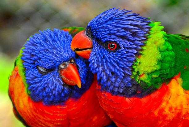 Lorikeet Parrots stock photo