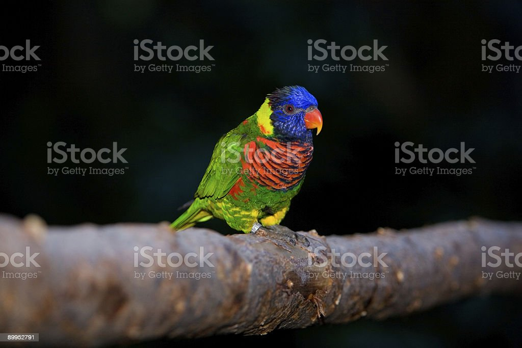 Lorikeet royalty-free stock photo