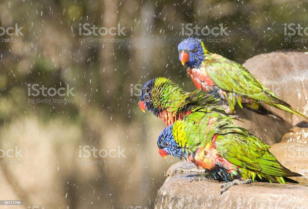 Lorikeets nella Mangiatoia per uccelli. foto stock royalty-free