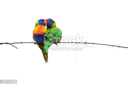 Gorgeous moment between two Australian Lorikeets, on a single wire line. On white.